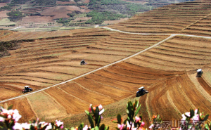 彝家山寨黑苦荞种植基地种植过程