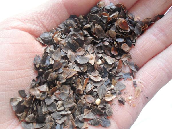 好枕头好原料-荞麦皮与荞麦壳有什么区别