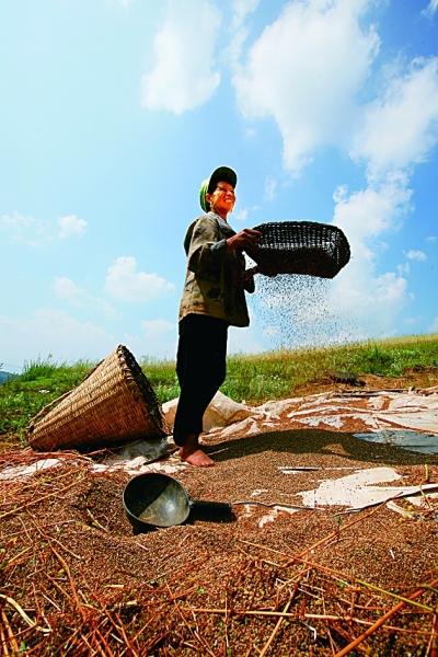 筛荞麦种粒