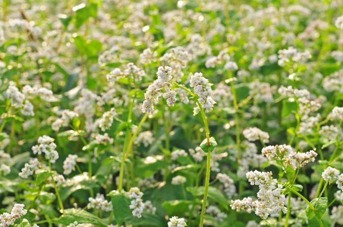 荞麦植物-荞麦花