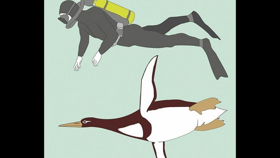 杰拉尔德·迈尔提供的这个插图显示了一个古代巨型企鹅Kumimanu biceae和一个人的大小。(AP /森肯贝格研究所)