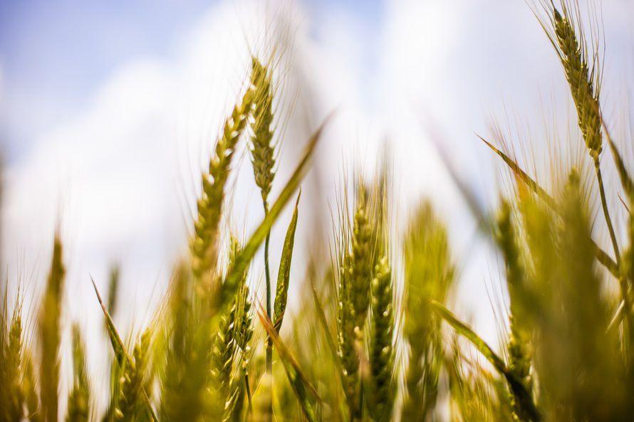 大麦高清图片
