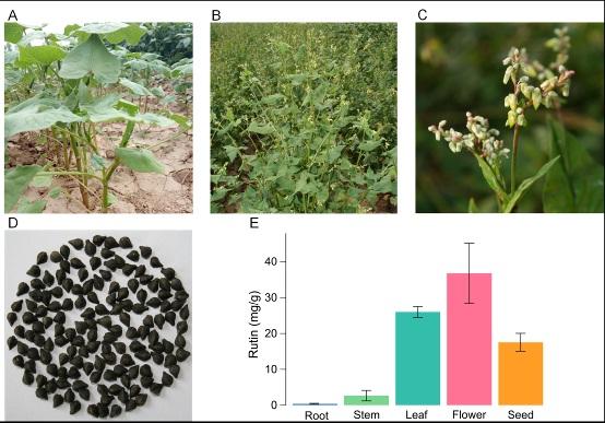 图: 苦荞的植株和籽粒形态及各部位中天然产物芦丁(Rutin)的含量