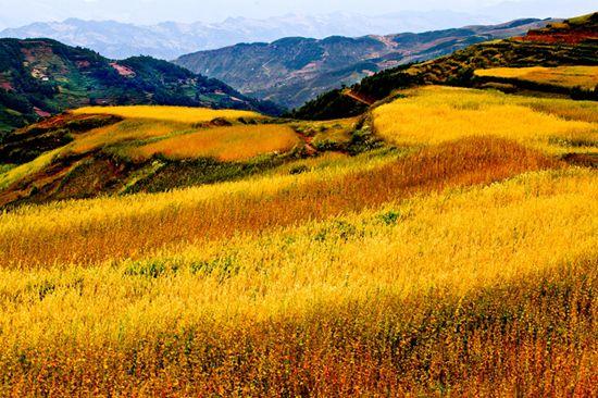 图片[1] 四川美姑苦荞栽培系统-中国重要农业文化遗产 苦荞之家