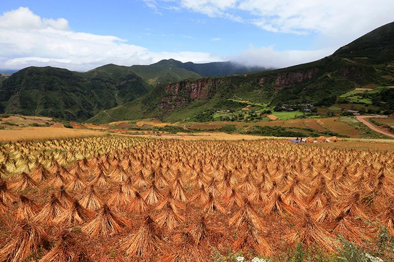 图片[5] 四川美姑苦荞栽培系统-中国重要农业文化遗产 苦荞之家