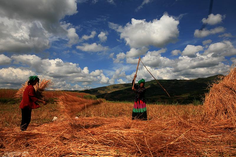 图片[4] 四川美姑苦荞栽培系统-中国重要农业文化遗产 苦荞之家