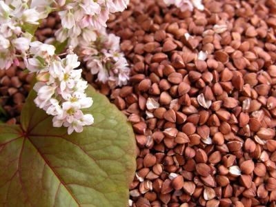 苦荞的花和苦荞种子